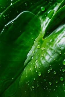 Textura de fundo de folha tropical verde com água cai depois da chuva