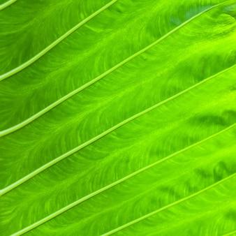 Textura de fundo de folha verde de planta tropical