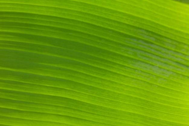 Textura de fundo de folha verde fresca com luz de fundo