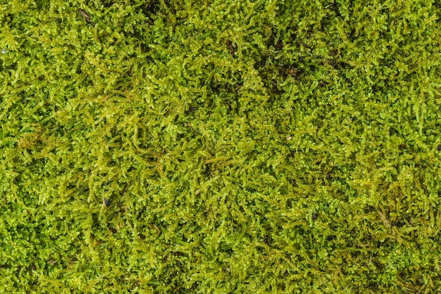 Textura de fundo de musgo verde bonita na natureza. fechar-se