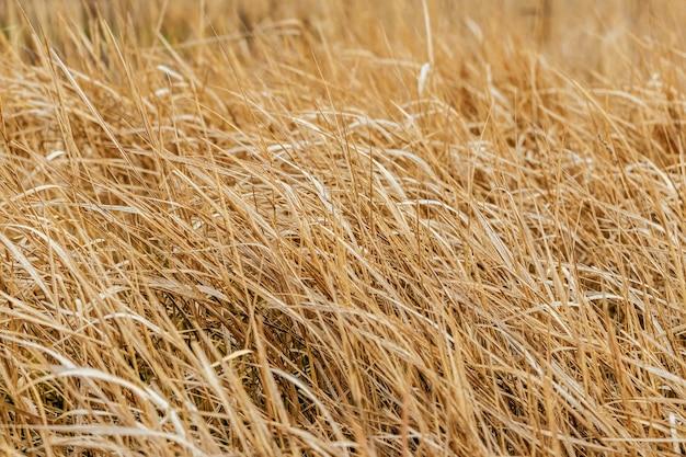 Textura de grama seca. campo com grama seca