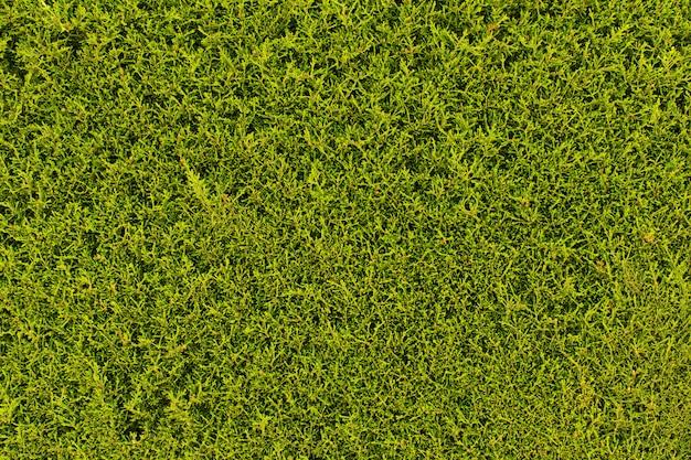 Textura de grama verde ou plano de fundo