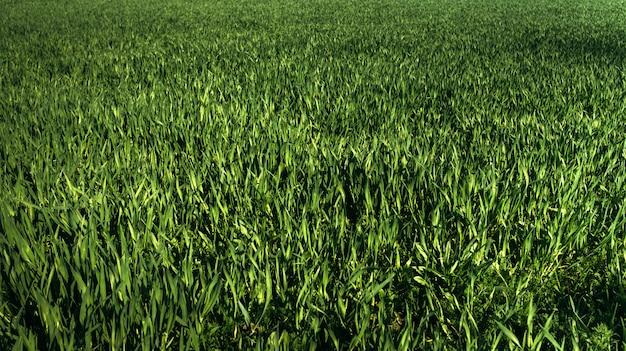 Textura de grama verde para o fundo.