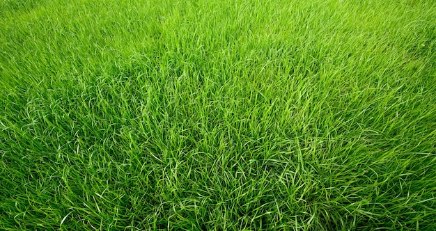 Textura de grama verde para segundo plano. campo de grama natural.