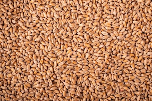Textura de grãos de sementes de trigo, macro, vista superior