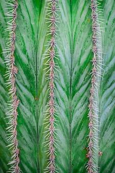 Textura de linha de espinhos de cacto verde