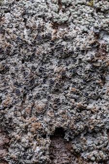 Textura de líquen comum da família physciaceae