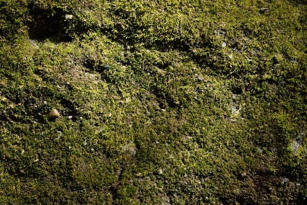 Textura de musgo verde e fundo