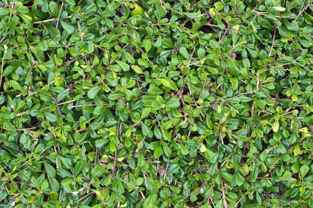 Textura de natureza de folhas verdes