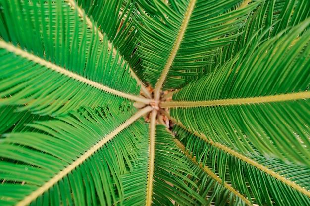 Textura de palmeira