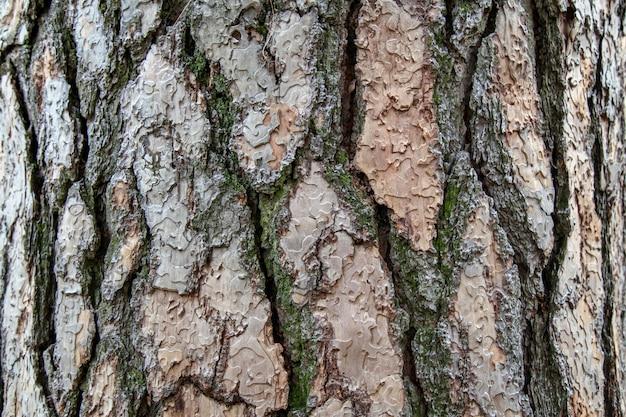 Textura de pinheiro gigante para o fundo na floresta