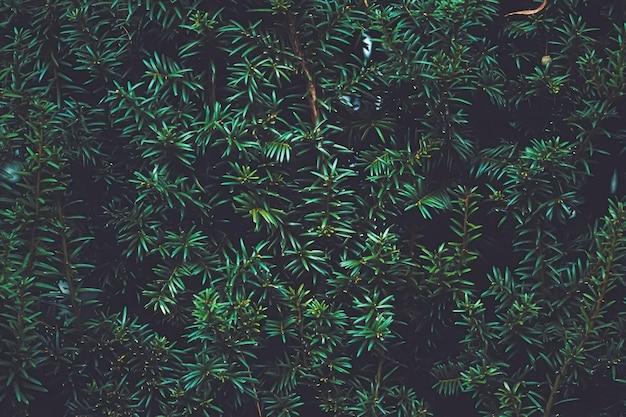 Textura de planta de arbusto de abeto verde e design natural