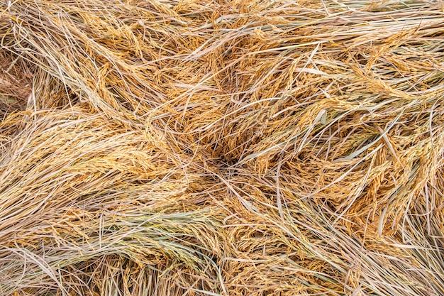 Textura de planta de arroz amarelo