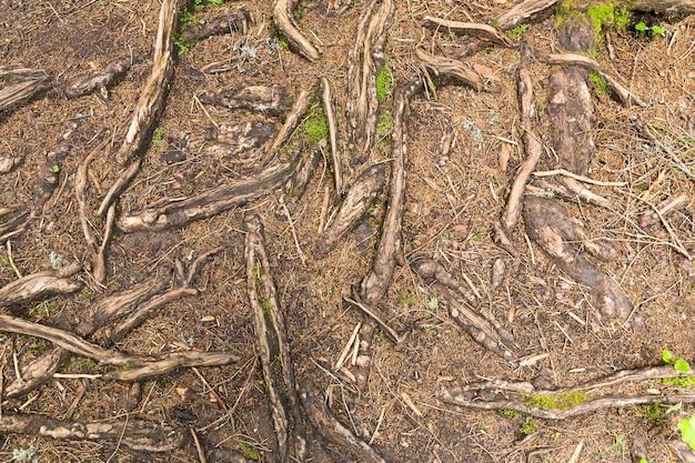 Textura de raízes de árvores na floresta