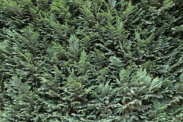 Textura de ramos verdes de abeto sebe verde natural textura de ramos de zimbro verde escuro