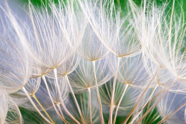 Textura de sementes de dente de leão