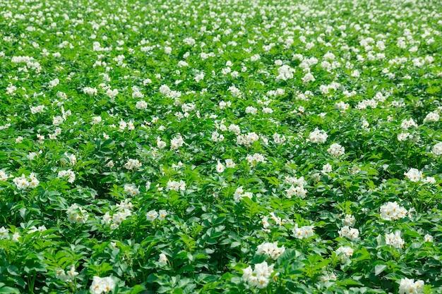Textura de um campo de batata