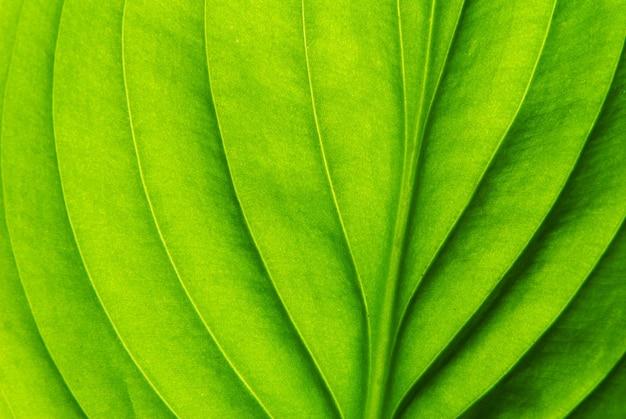 Textura de uma folha verde como pano de fundo