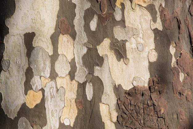 Textura do sycamore tree platanus occidentalis, casca de plátano em sochi