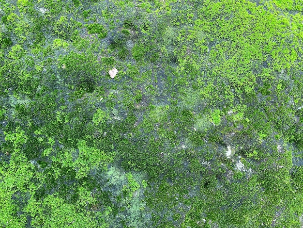 Textura e fundo de musgo verde