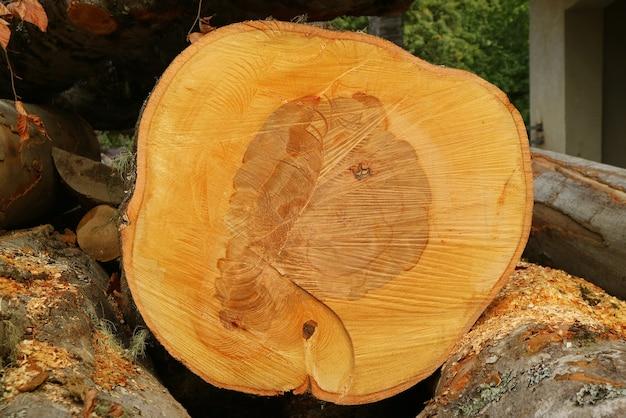 Textura e padrão do tronco de árvore recém-cortado