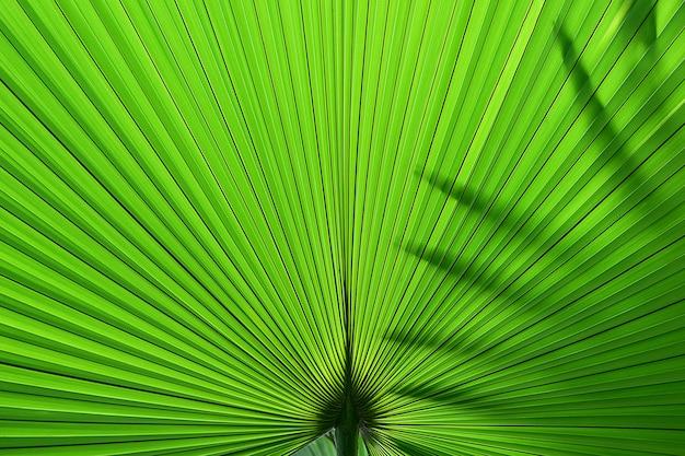 Textura em folha de palmeira tropical verde escuro