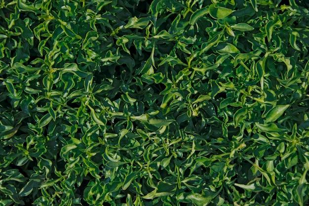 Textura frondosa escura verde, fundo de plantas verdes.