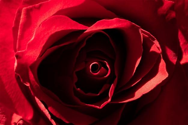 Textura linda rosa vermelha, flor romântica.