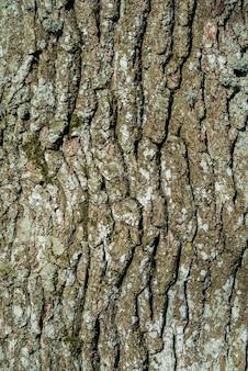 Textura ou fundo do detalhe da casca de carvalho.