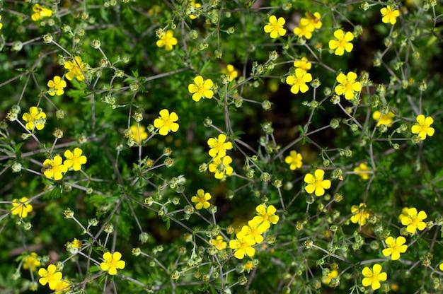 Textura pequenas flores amarelas crescem em dispersão