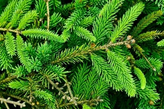 Textura pinheiro