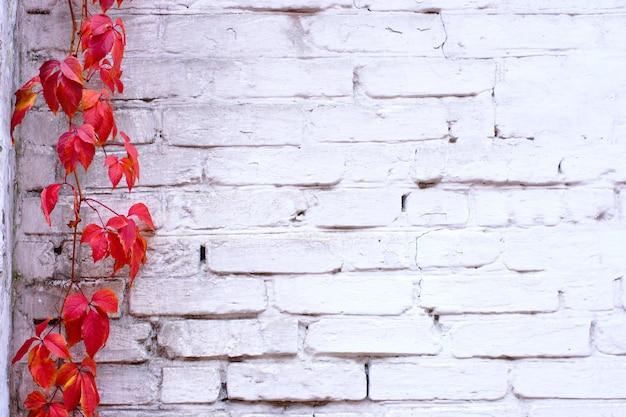 Textura pintada branca da parede de tijolo e videira da trepadeira vermelha da hera
