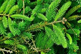 Textura textura pinheiro