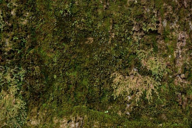 Textura verde do musgo no musgo do verde da natureza no fundo de pedra.