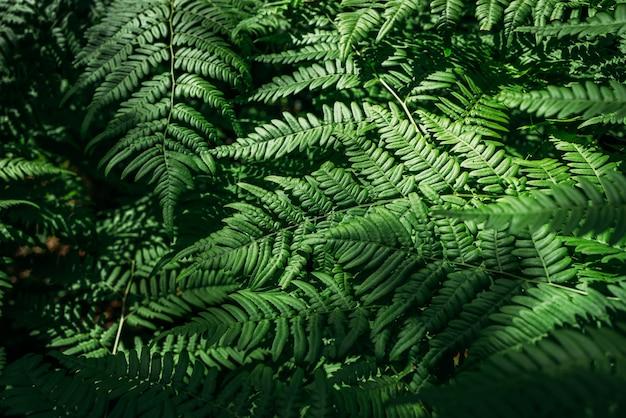 Textura verde verão centenas de samambaias. árvore de samambaia verde crescendo no verão. samambaia com folhas verdes em fundo natural. fundo de samambaia floral natural em um dia ensolarado