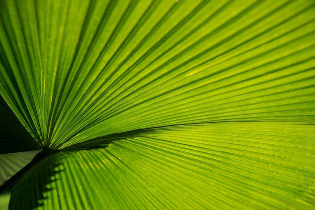 Texturas, superfície, desenho padrão, vívido, fresco, brilhante, de, verde folhas, de, bandeira palma, backgroun