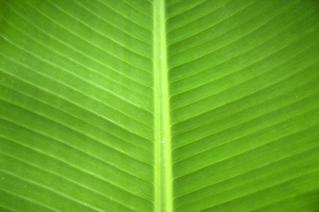 Texture o fundo da folha verde fresca do luminoso.