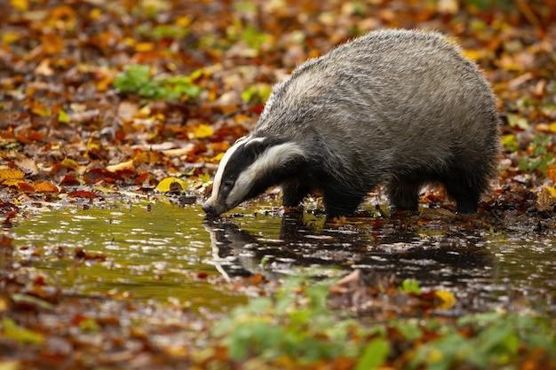 Texugo europeu em pé no pântano na natureza do outono