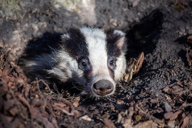 Texugo olha para fora do buraco, animal no habitat natural