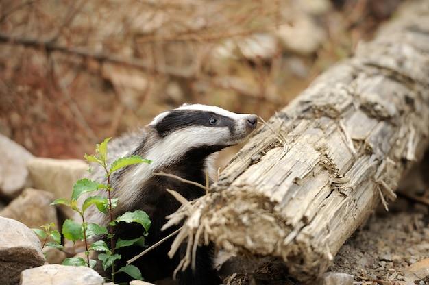 Texugo perto de sua toca na floresta