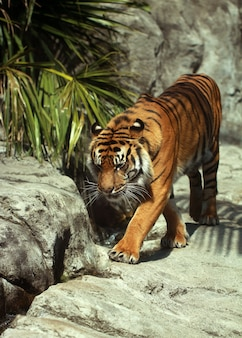 The pacing tiger