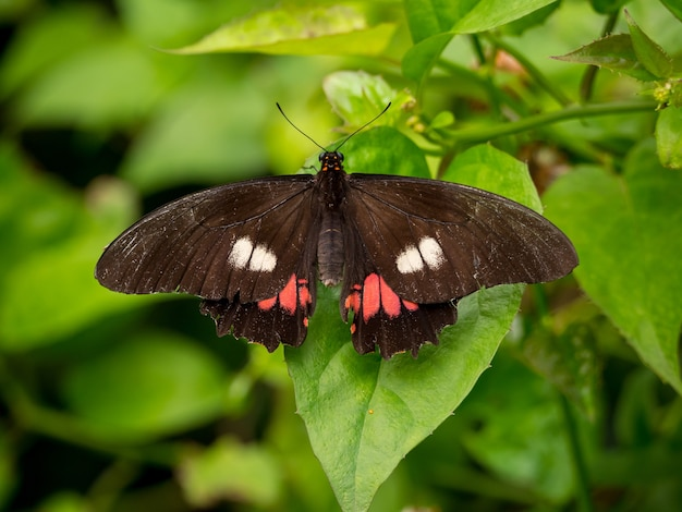 The ruby-spotted swallowtail ou red-spotted swallowtail