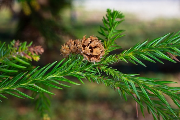 Thuja occidentalis é uma árvore conífera perene, da família dos ciprestes cupressaceae. uma saliência em um galho. blossom.closeup