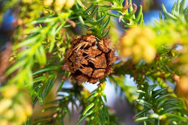 Thuja occidentalis é uma árvore conífera perene, da família dos ciprestes cupressaceae. uma saliência em um galho. florescer. uma protuberância em um fundo desfocado
