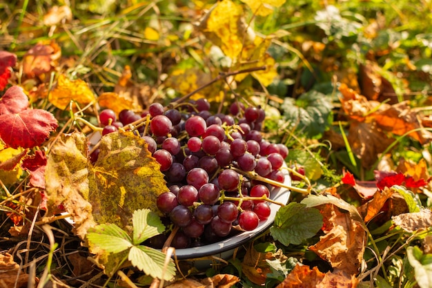 Tigela de ferro com uvas vermelhas no chão, folhas de uva amarelas e laranja, colheita no outono no jardim