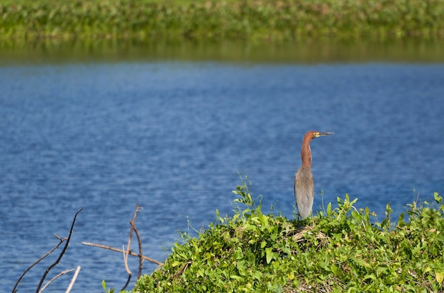 Tiger heron no pantanal brasileiro