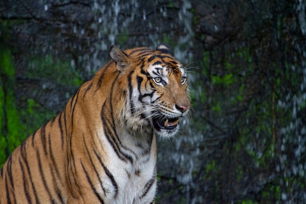Tiger sentar na frente da cachoeira