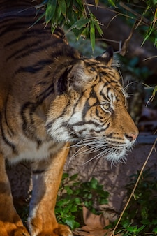Tigre asiático no zoológico de barcelona, espanha
