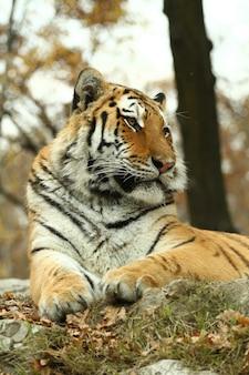 Tigre bonito no safari do jardim zoológico