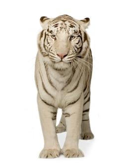 Tigre branco (3 anos) na frente em um branco isolado